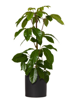 Umbrella Plant 240mm