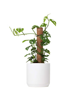 Plant: Totem Swiss Cheese Plant 170mm & Pot
