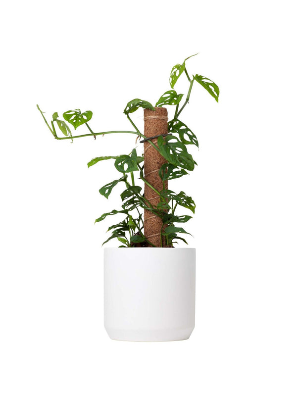 Totem Swiss Cheese Plant 170mm & Pot
