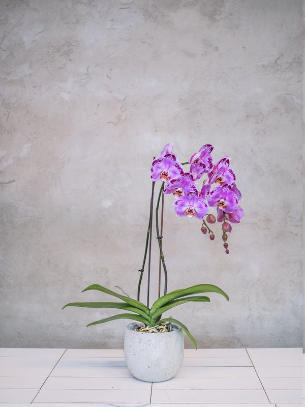 Mother's Day Potted Orchids
