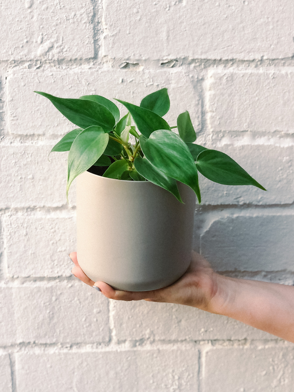 Philodendron 120mm & Pot