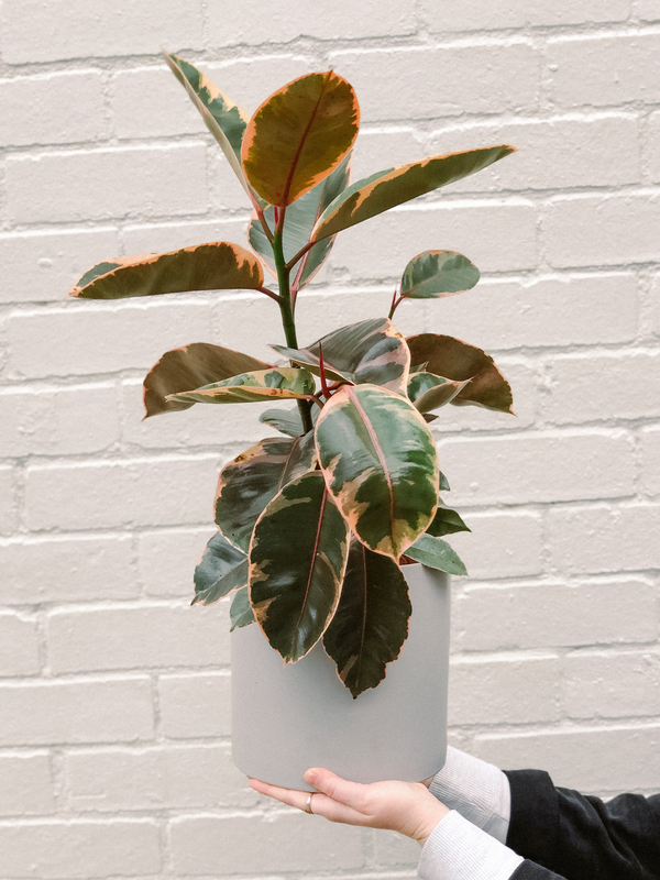 Rubber Ruby Plant 190mm & Pot