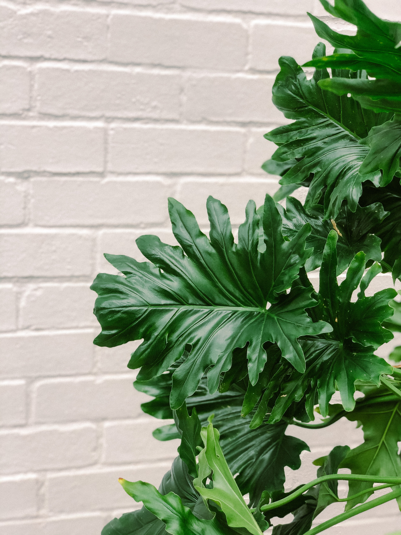 Plant: Philodendron Hope 250mm