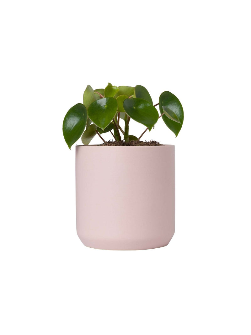 Pilea Teardrop 120mm & Pot