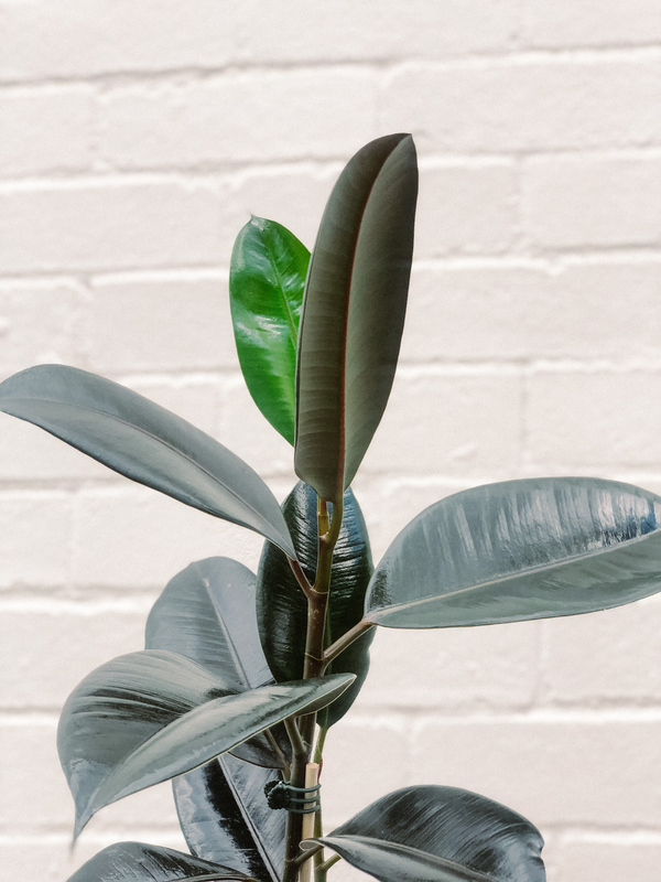 Plant: Rubber Plant 120mm & Pot