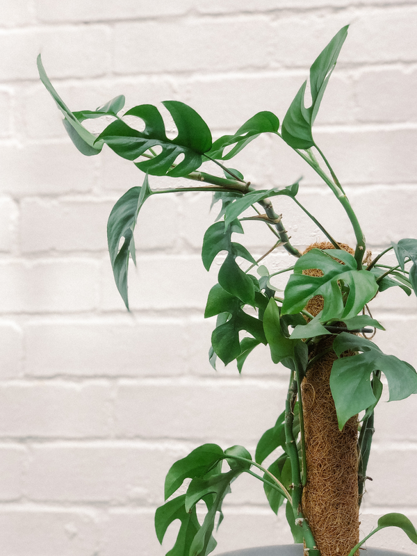 Mini Monstera Totem Plant 170mm & Pot