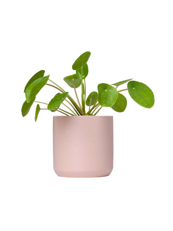 Pilea 120mm & Pot