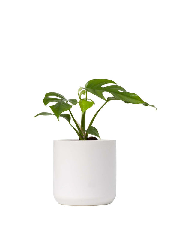 Mini Monstera Plant 120mm & Pot