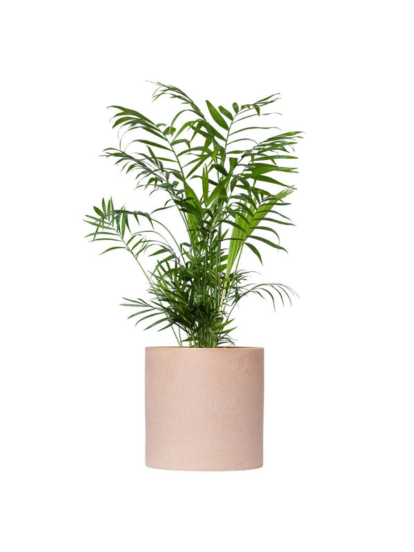 Parlour Palm 170mm & Pot