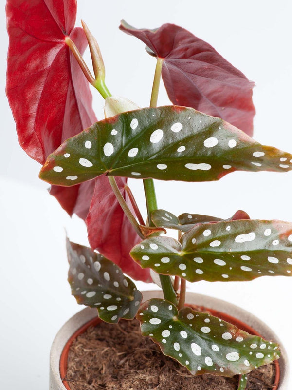 Spotted Begonia (Polka Dot) 120mm & Pot