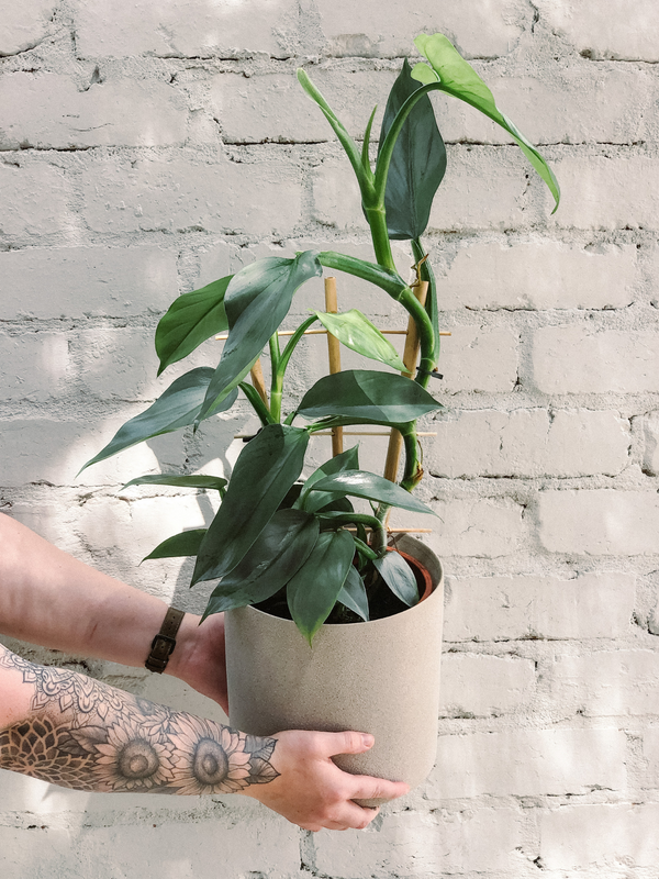 Philodendron Ladder 190mm & Pot