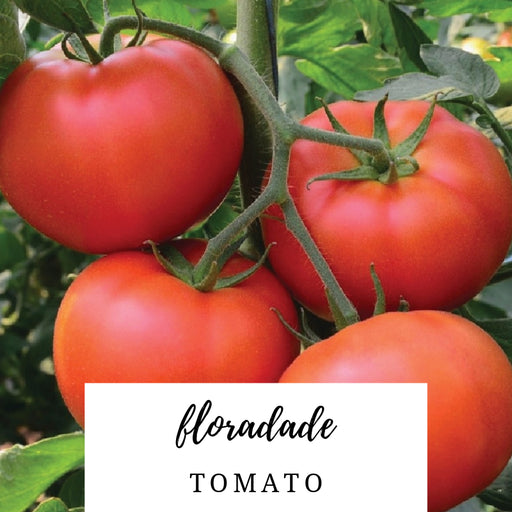 Floradade Tomato Heirloom Seed Packet