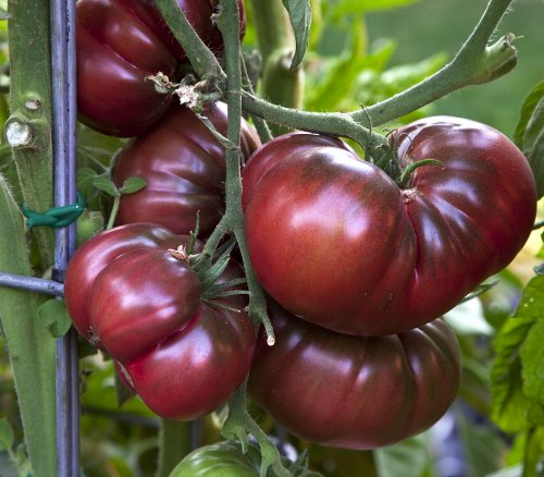 Black Krim Tomato Heirloom Seed Packet