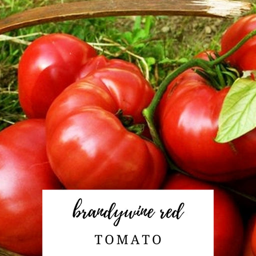 Brandywine Red Tomato Heirloom Seed Packet