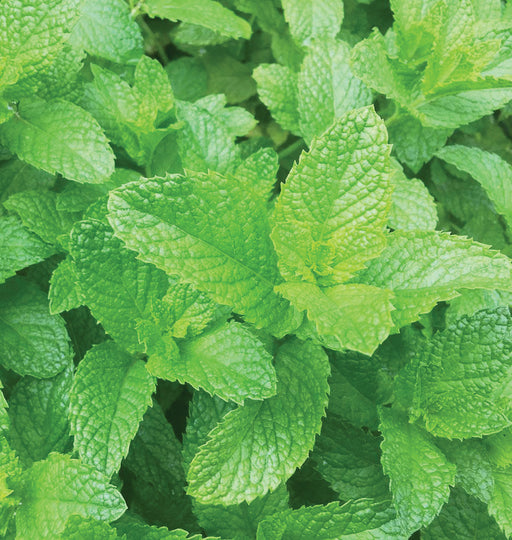 Lemon Mint Heirloom Seed Packet