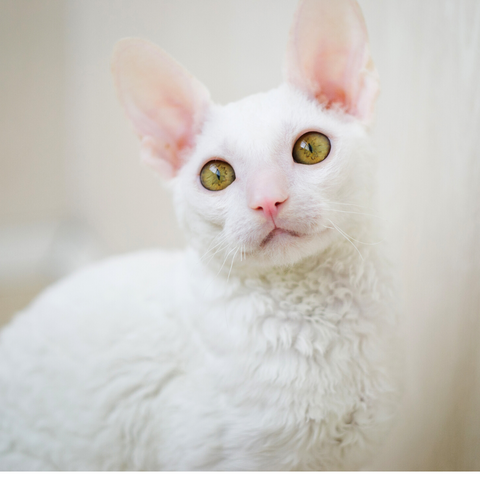 Cornish Rex Hypoallergenic Cat