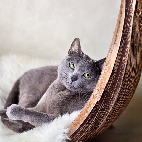 Russian Blue Hypoallergenic Cat