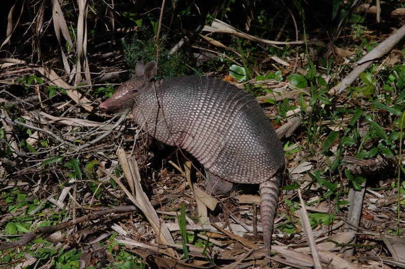 One of the million armadillos on the island
