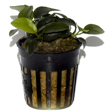 Load image into Gallery viewer, Anubias 'Petite' | Aquatic Life LTD