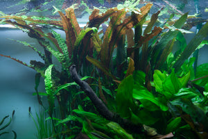 Cryptocoryne usteriana | Aquatic Life LTD