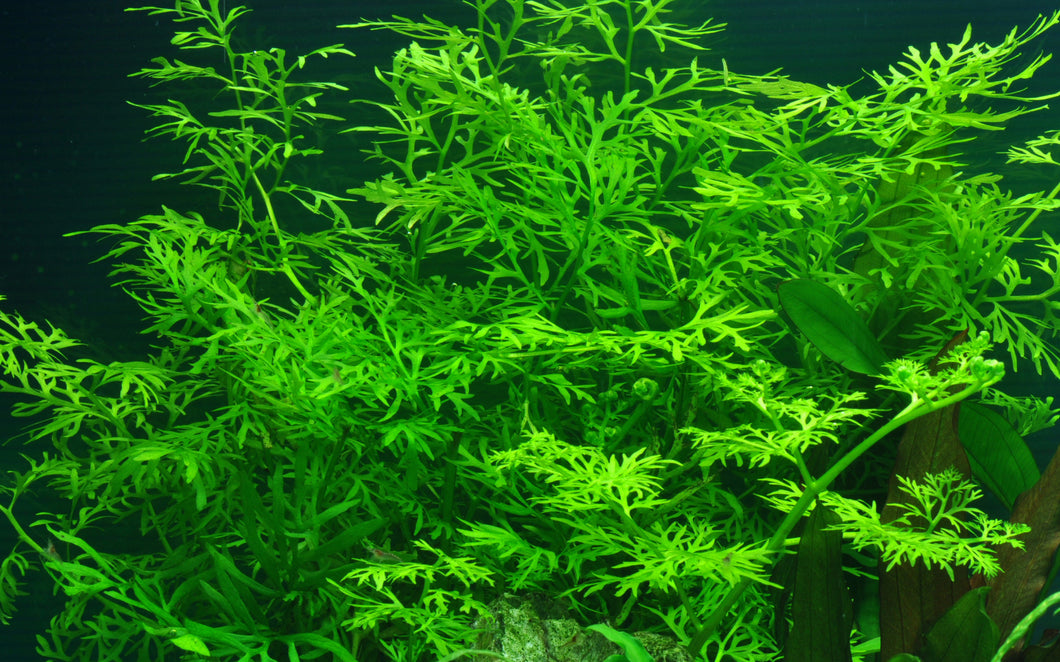 Ceratopteris thalictroides | Aquatic Life LTD