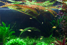 Load image into Gallery viewer, Cryptocoryne usteriana | Aquatic Life LTD