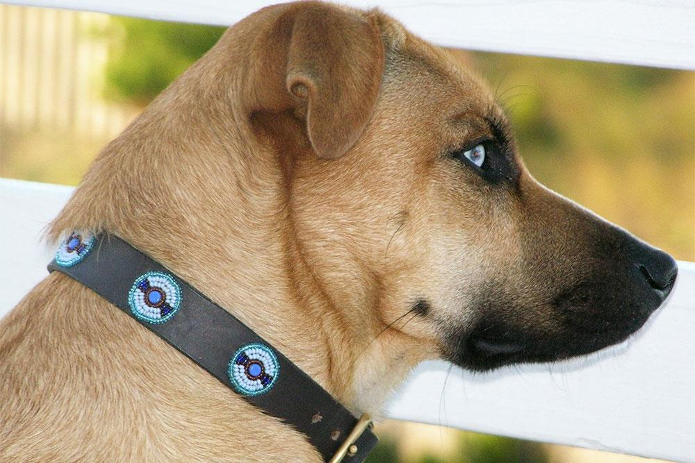 Blue+Brown Circles Beaded Dog Collar on pup by The Kenyan Collection
