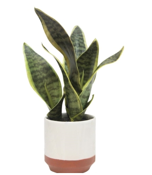 Sansevieria with White Pot