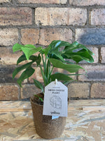 Swiss Cheese Plant - Philodendron Minima COCOZ pot 11Ø 30cm [variant_title] - Logan Malloch
