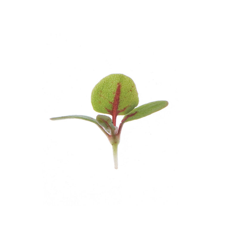 Sorrel - Red Veined