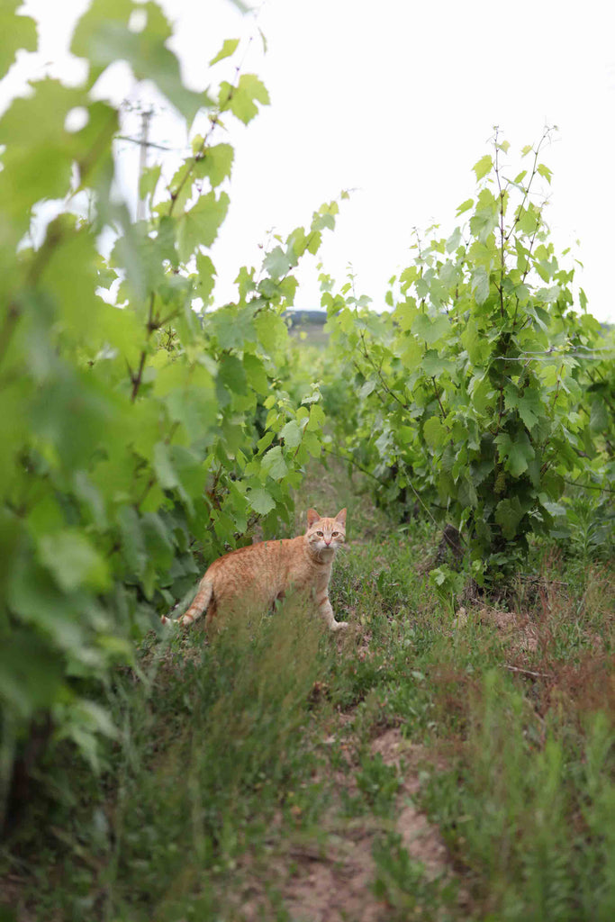 Q + A with Domaine Leonis, Beaujolais
