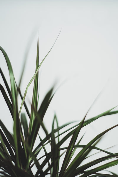 Dracaena is an air purifying plant