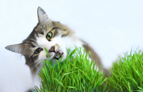 cat grass pet friendly plant