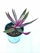 Load image into Gallery viewer, Tradescantia Spathacea | Oyster Plant in 4' recycled plastic planter