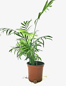 "Parlor Palm in 4"" Plastic Potter"