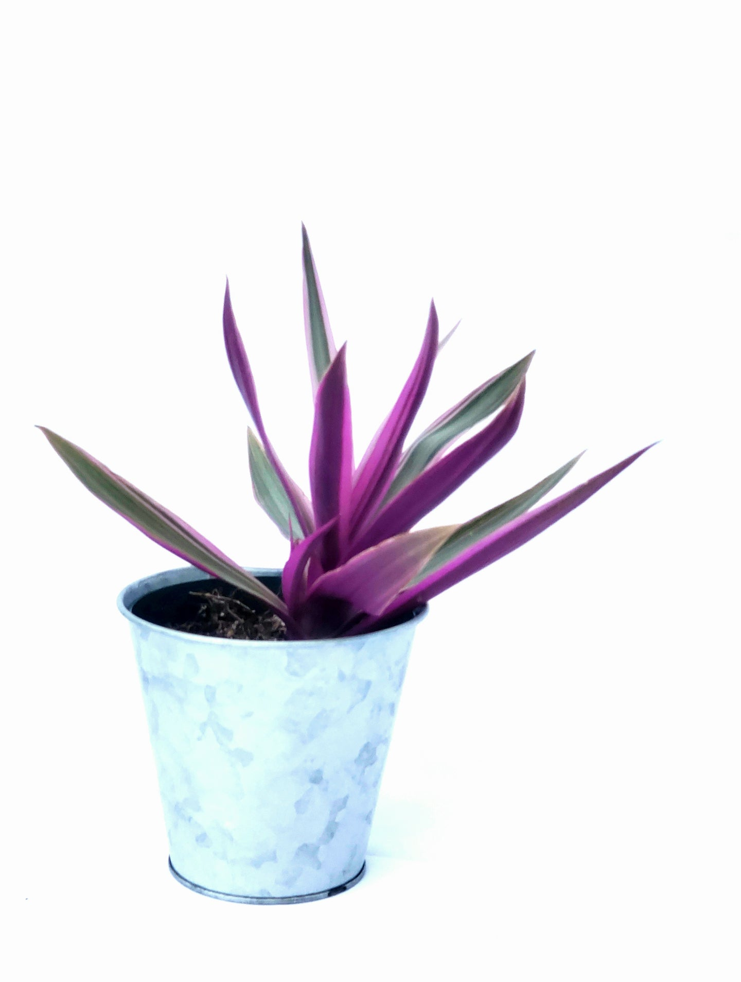 Tradescantia Spathacea | Oyster Plant in 4' recycled plastic planter