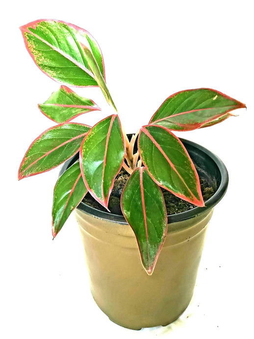 Red Aglaonema - 6