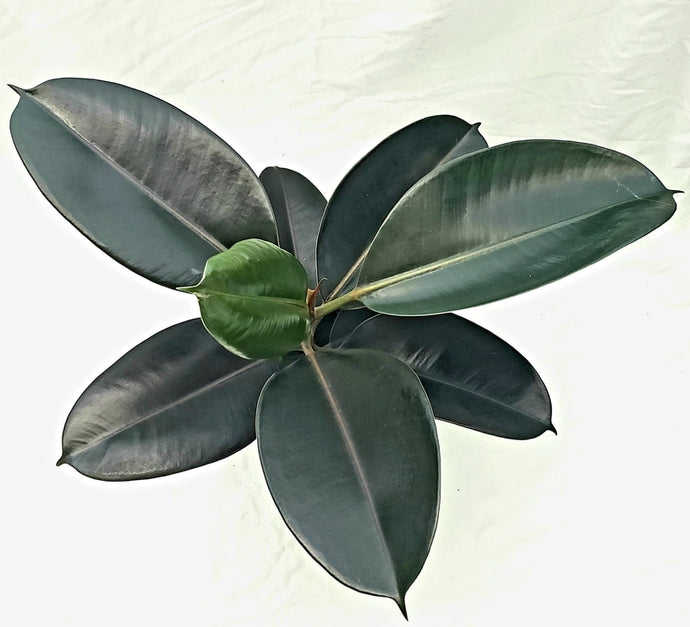 Rubber Plant - one gallon plastic planter