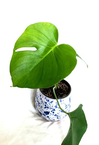 "Monstera - 4"" Pot - Small Plastic Planter"