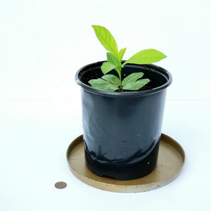 "Baobab seedling 6"" pot - ADANSONIA DIGITATA"