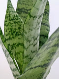 Load image into Gallery viewer, Snake Plant | Sansevieria - Small - Plastic Planter