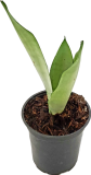 Load image into Gallery viewer, Snake Plant | Sansevieria - Earthenware Planter