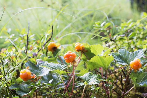 Cloudberries in forest