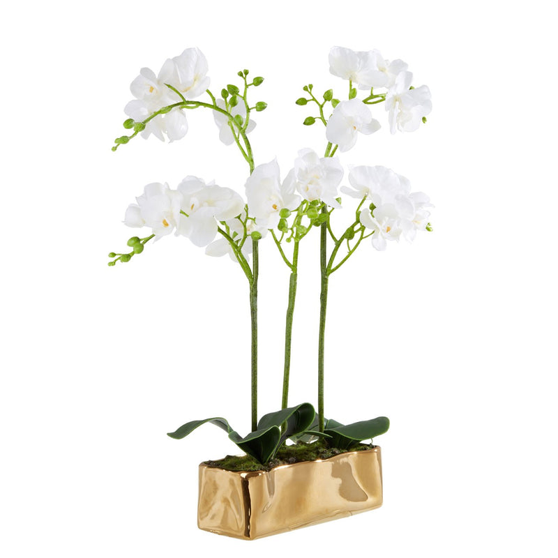 Gold Planter Orchid