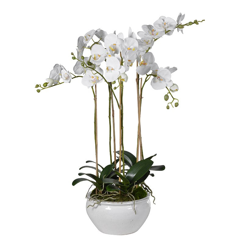 Small Orchid Phalaenopsis Plant In White Pot