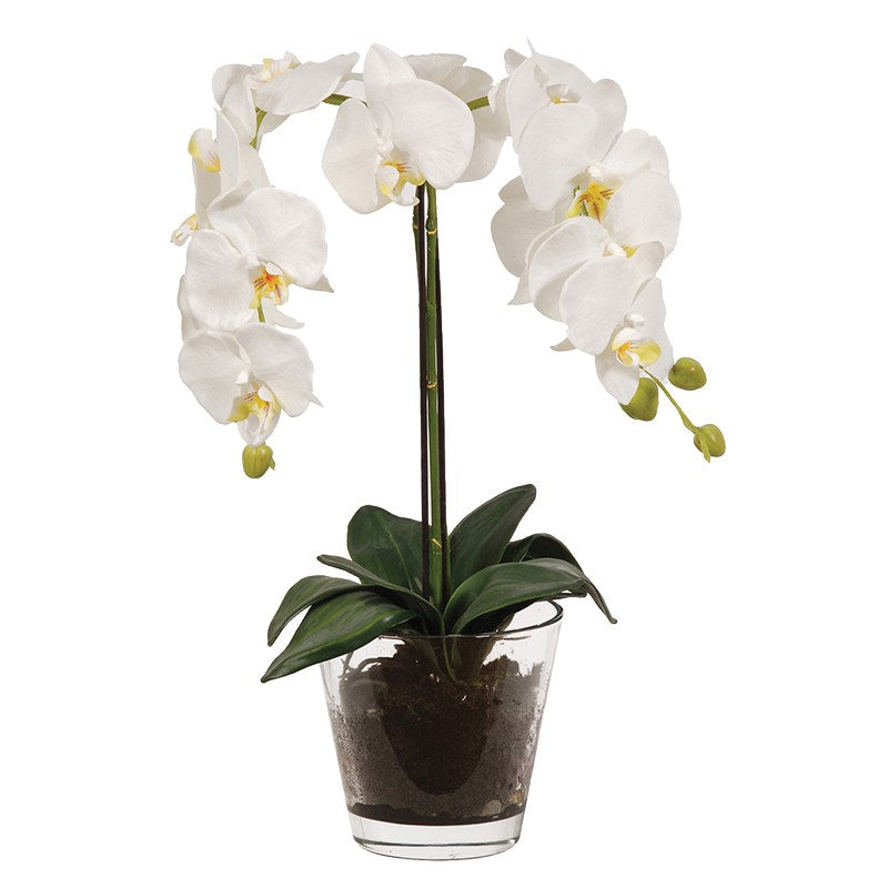 White Orchid Phalaenopsis Plant In Glass Pot