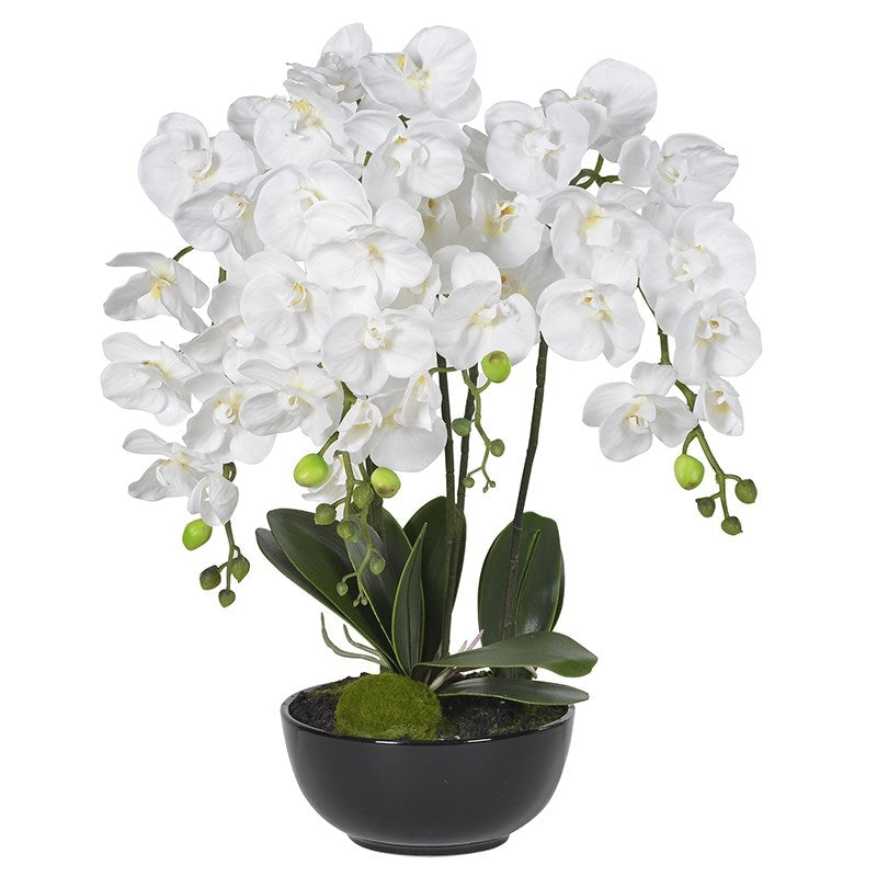 White Orchid Phalaenopsis In Black Pot