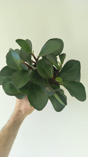 Peperomia clusiifolia 'Red Edge'