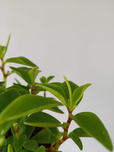 Load image into Gallery viewer, Peperomia 'Amigo Marcello'