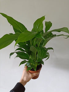 Spathiphyllum sp. - Peace Lily